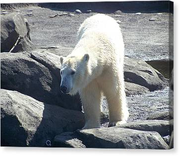 Polar Bear Looks Canvas Print by Geri Chamberlin