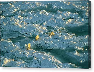 Polar Bear Mother And Cubs Walking Canvas Print by Norbert Rosing
