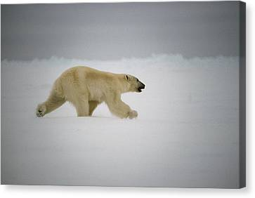 Polar Bear Runs Across Frozen Baffin Canvas Print
