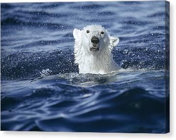 Polar Bear Swimming Off  Baffin Island Canvas Print