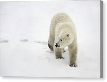 Polar Bear Walking Canvas Print
