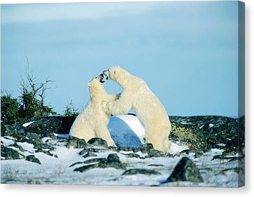 Polar Bears Sparring, Churchill Canvas Print by Mike Grandmailson