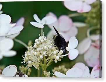 Pollen And Nectar Feeding Fly 8 Canvas Print by Douglas Barnett