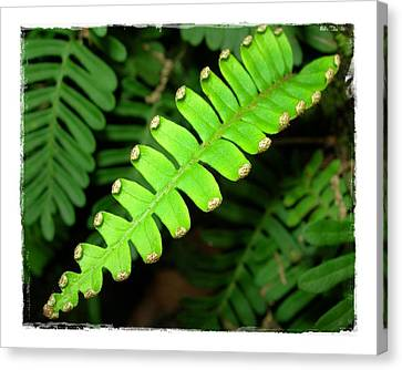 Polypody Canvas Print by Judi Bagwell