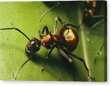 Polyrhachis Ant On A Strangler Fig Leaf Canvas Print