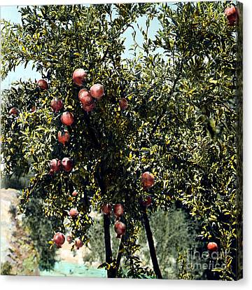 Pomegranate Tree Canvas Print by Granger
