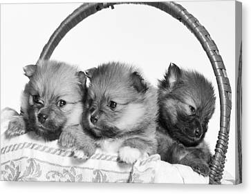 Pomeranian Canvas Print by Everet Regal