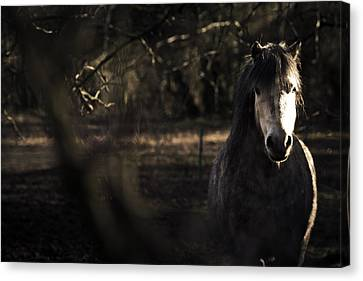 Pony In The Brambles Canvas Print by Justin Albrecht