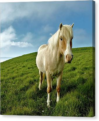 Pony On Mykines Canvas Print by © Rune S. Johnsson