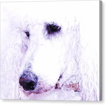 Poodle Face Canvas Print by Lisa  DiFruscio