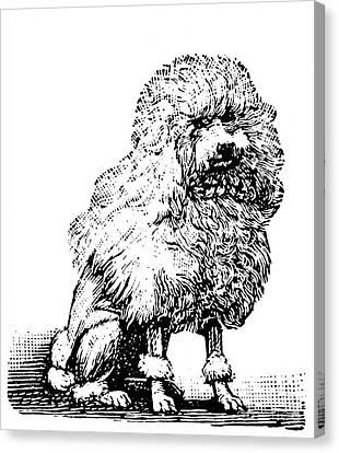 Poodle Canvas Print by Granger