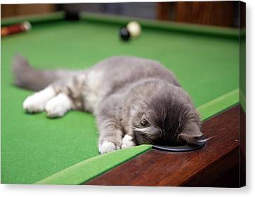 Pool Kitty Canvas Print by (c) Chris Gin