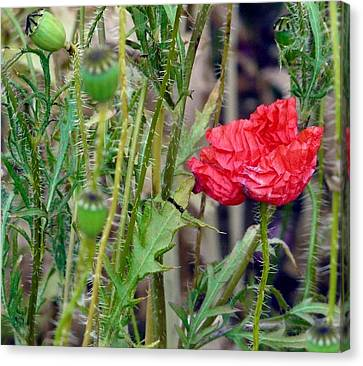 Popped Poppy Canvas Print