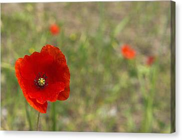 Poppies At Spring (close-up) Canvas Print by Sami Sarkis
