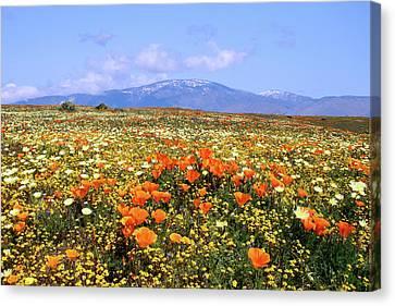 Poppies Over The Mountain Canvas Print by Peter Tellone