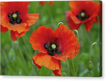 Poppies Canvas Print by Photo by Judepics