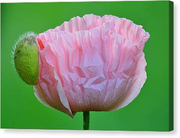 Canvas Print featuring the photograph Poppy Emerges by Ronda Broatch