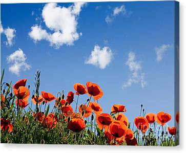 Poppy Flowers 05 Canvas Print by Nailia Schwarz