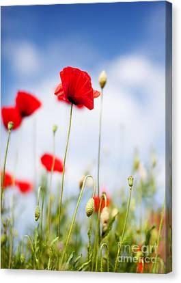 Poppy Flowers 06 Canvas Print by Nailia Schwarz