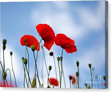 Poppy Flowers 08 Canvas Print by Nailia Schwarz