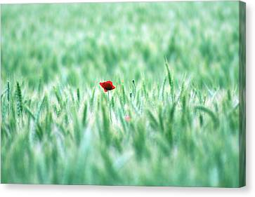 Poppy In Wheat Field Canvas Print by By Julie Mcinnes