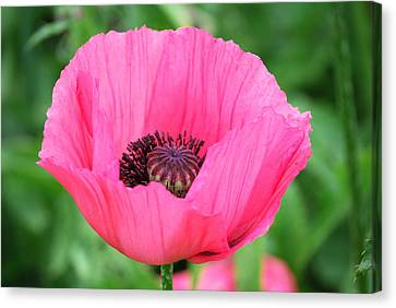 Canvas Print featuring the photograph Poppy by Kathy Gibbons