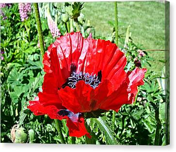 Canvas Print featuring the photograph Poppy by Nick Kloepping