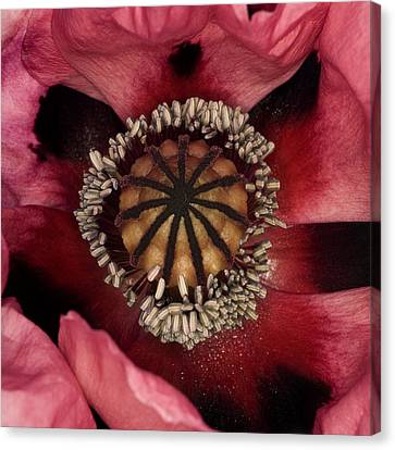 Poppy (papaver Sp.) Canvas Print