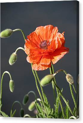 Canvas Print featuring the photograph Poppy by Rebecca Overton