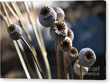 Poppy Seed Pods  2 Canvas Print by Tanya  Searcy