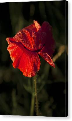 Poppy Canvas Print by Svetlana Sewell