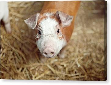 Pig Canvas Print - Porquet by Roc Canals Photography