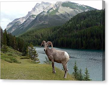 Canvas Print featuring the photograph Portrait Of A Bighorn Sheep At Lake Minnewanka  by Laurel Best
