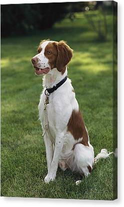 Portrait Of A Brittany Spaniel Canvas Print by Paul Damien