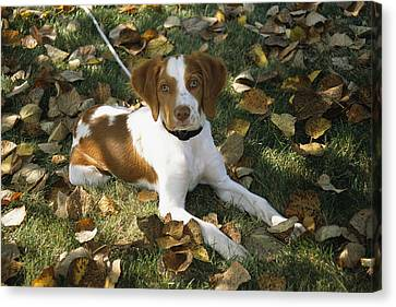 Portrait Of A Brittany Spaniel Puppy Canvas Print by Paul Damien