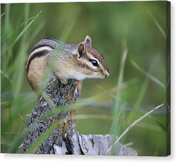 Canvas Print featuring the photograph Portrait Of A Chipmunk by Penny Meyers