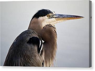 Portrait Of A Great Blue Heron Canvas Print by Paulette Thomas
