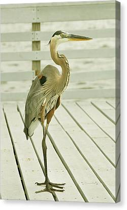 Portrait Of A Heron Canvas Print