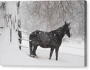 Portrait Of A Horse In A Winter Canvas Print by Hibberd, Shannon