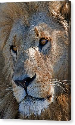 Portrait Of A Male African Lion Canvas Print by Beverly Joubert