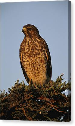 Portrait Of A Red Shouldered Hawk Canvas Print by Roy Toft