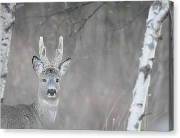 Portrait Of A Roe Buck Canvas Print by Ulrich Kunst And Bettina Scheidulin
