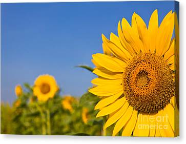 Portrait Of A Sunflower In The Field  Canvas Print