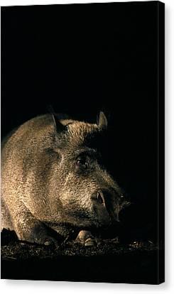 Portrait Of A Wild Boar Canvas Print by Ulrich Kunst And Bettina Scheidulin