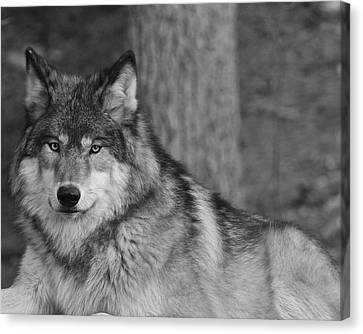 Portrait Of A Wolf Canvas Print by Kate Purdy