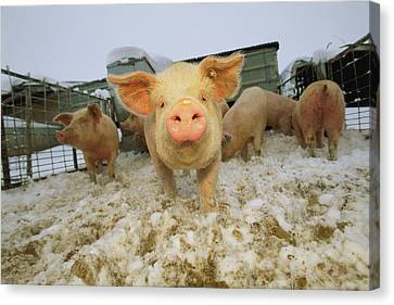 Portrait Of A Young Pig In A Snowy Pen Canvas Print by Joel Sartore