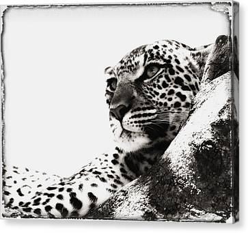 Portrait Of An African Leopard Canvas Print by Carson Ganci