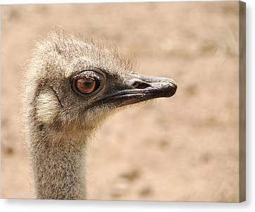 Portrait Of An  Ostrich Canvas Print by Laura Melis