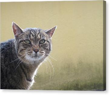 Portrait Of Tabby Cat Canvas Print by Rosmarie Wirz
