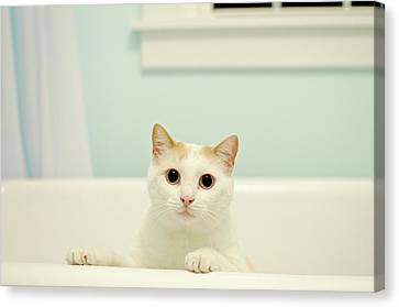 Domestic Bathroom Canvas Print - Portrait Of White Cat by Melissa Ross